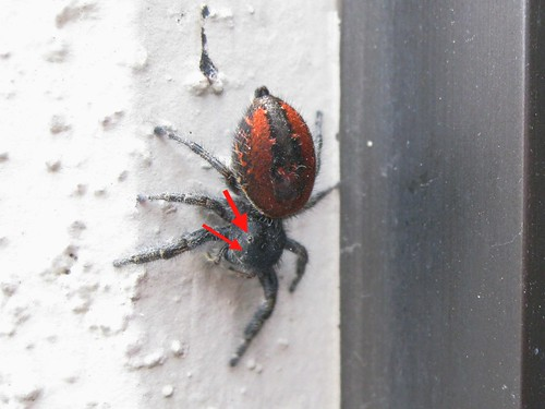 Red-backed Jumping Spider 5b