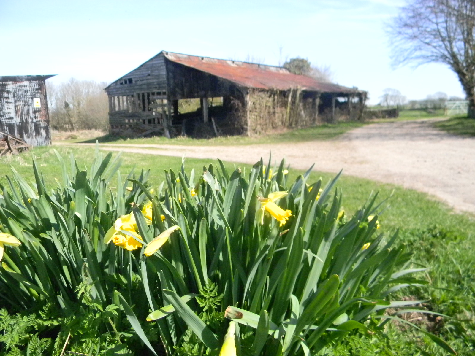 Old Barn with Daffs I do wish he'd stop coming out. Lewes Circular via West Firle