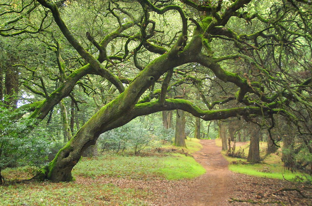 Coast Live Oaks (Quercus agrifolia) over trail in Joaquin Miller Park, Oakland, California