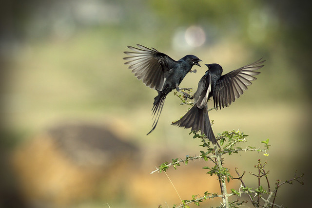 ? The Drongo Love ? Happy Valentine's Day ?