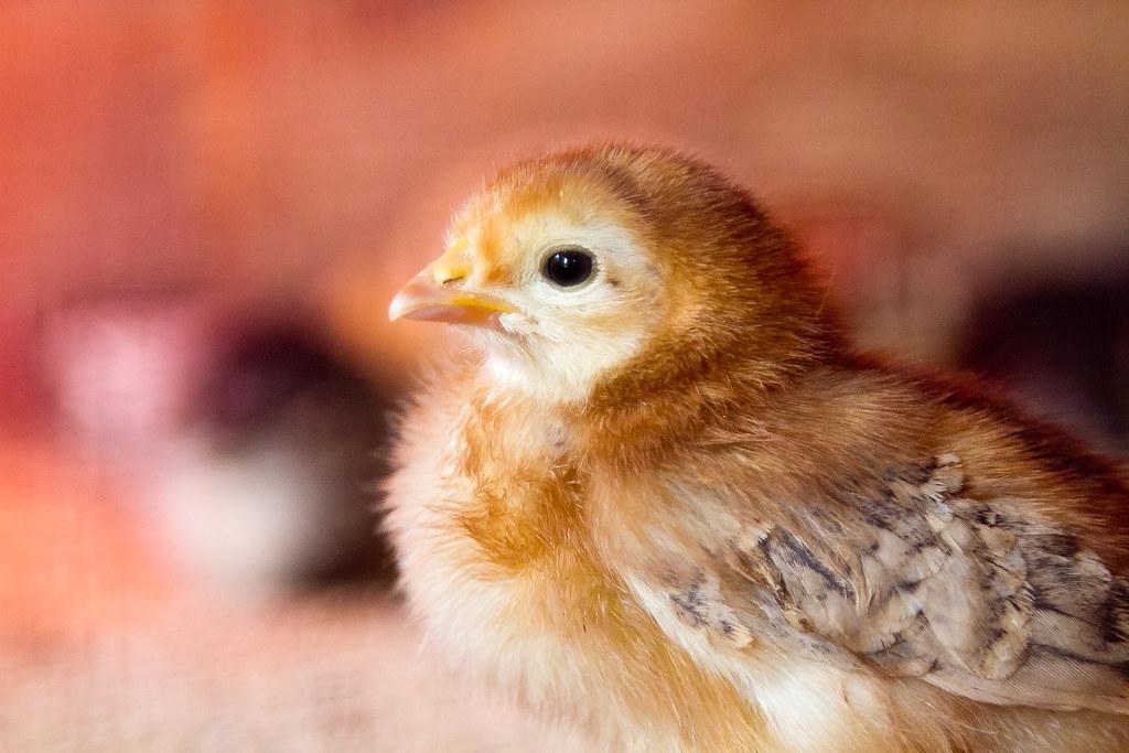 Chick Van Dyke.