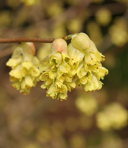 Corylopsis - Spring at the Ballard Locks - Seattle