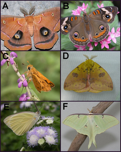 butterflies versus moths Both, a moth and a butterfly come with a pair of antennae (feelers) antennae are sensory organs that help in sensing things around there is an evident change in the shape and structure of their antennae.