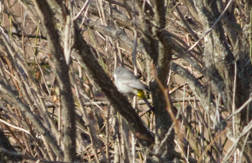 Virginia's Warbler 2012 Feb 18 Pickering Creek