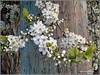 white cherry tree in blossom