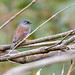 Small photo of Maroon Backed Accentor