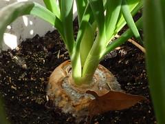 cultivo de cebolla desde bulbo