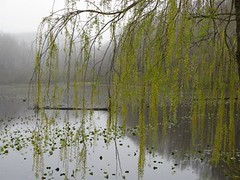 willow in spring