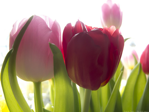 Sunlite Tulips 21st-Feb-12