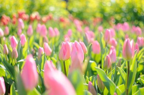 [フリー画像素材] 花・植物, チューリップ, 花畑 ID:201202261200