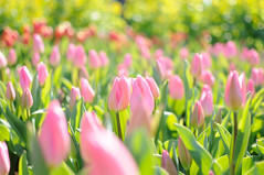[Free Images] Flowers / Plants, Tulip, Flower Garden ID:201202261200