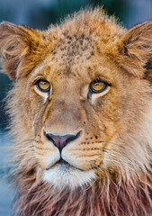 [Free Images] Animals 1, Lions ID:201202261000