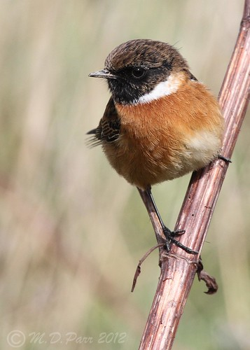 Stonechat (Saxicola torquatus) by M.D.Parr (was Dipperish)
