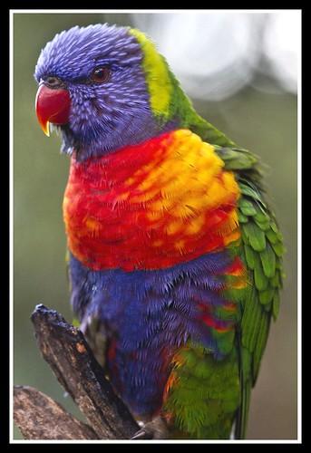 Rainbow Lorrikeet -1= by Sheba_Also