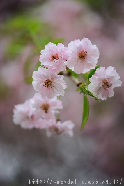 ヤエベニシダレ [Prunus pendula]...