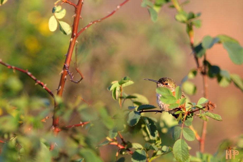 Allen's Hummingbird 030112