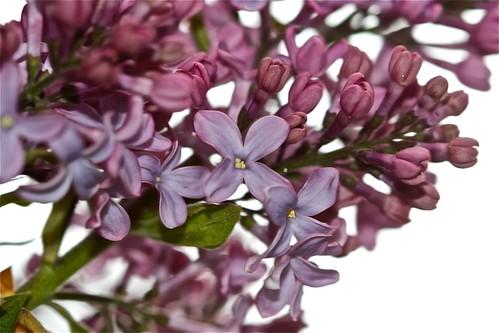 Lilacs 02