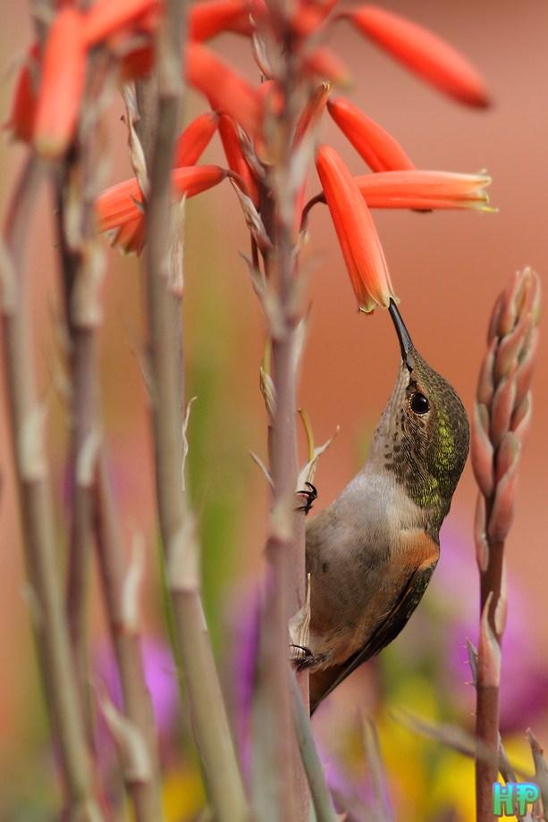 Allen's Hummingbird 031912-2