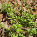 Stellaria media- common chickweed