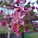 crab apple blooms 1