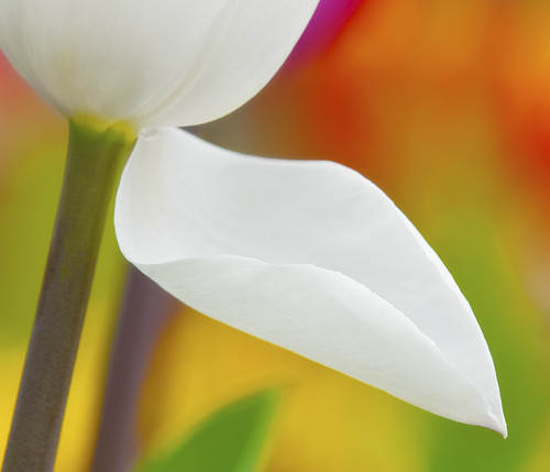 COLORFUL WORLD OF WHITE TULIP