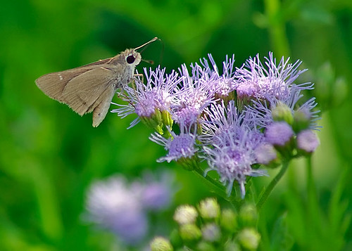 justin nature butterfly insect texas wildlife lepidoptera eufalaskipper
