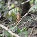 Small photo of Orange-billed Nightingale-Thrush