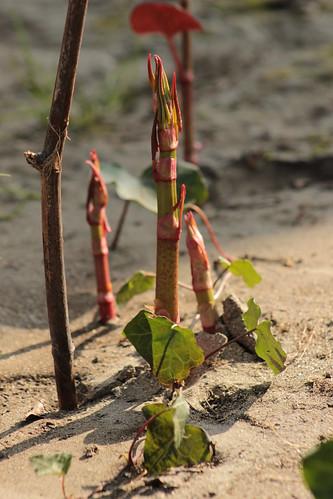 Reynoutria japonica = Fallopia - renouée du Japon 13196262145_04a4d1f506