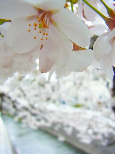 川に入って眺めたい。高倉川の桜 #甲府 #桜2014