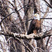 American Bald Eagle Perched on Branch in the Wild by Gary.Lamprecht