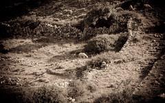 Sheep grazing among dry stone walls
