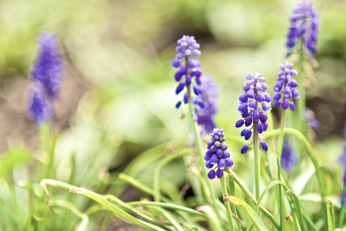 Purple muscari.