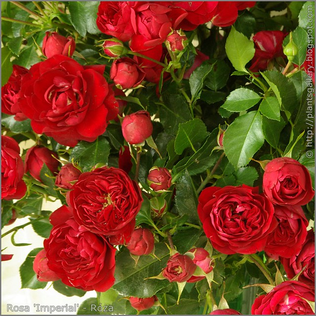 Rosa 'Imperial' - Róża 'Imperial'