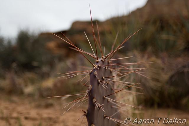 Arabian Death Cactus