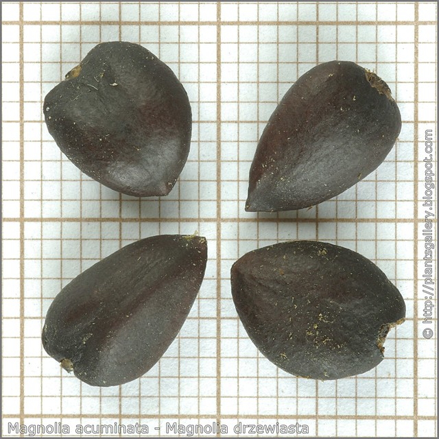 Magnolia acuminata seeds - Magnolia drzewiasta nasiona