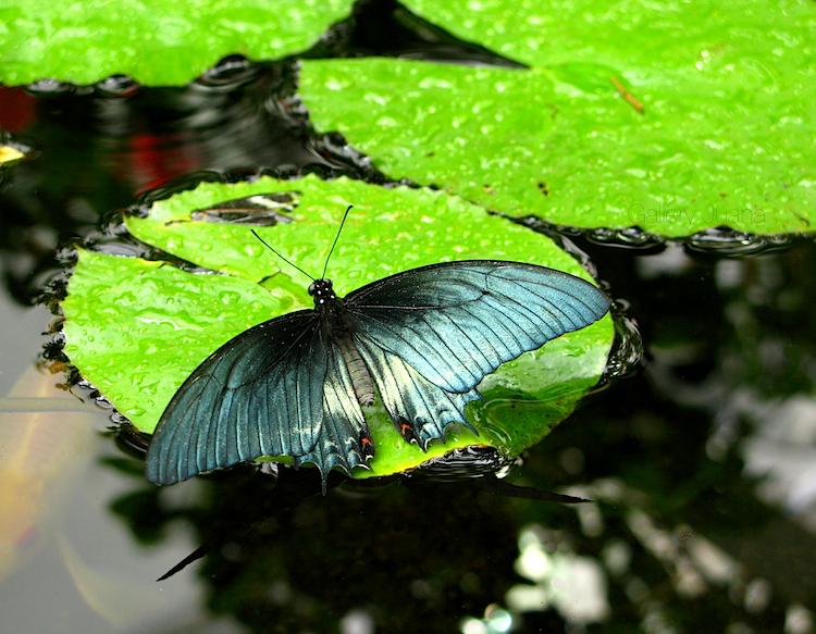 butterfly carp pond