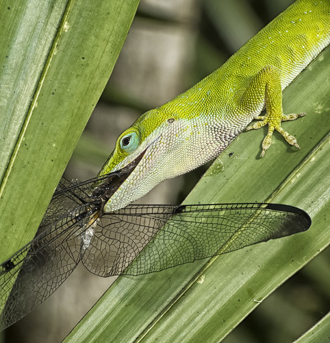 Lizard's Lunch - HDR