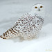 Snowy owl by Sulfite