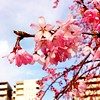 Photo:Sakura sakura~~ By CLF