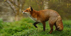 [Free Images] Animals 1, Foxes ID:201204130400