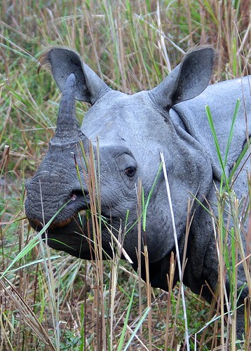 One Horned Rhino - Rhinoceras unicornis