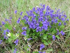 annual plant, flower, plant, wildflower, flora, meadow, bluebonnet,