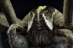 Macros d'Arachnides,Studio,Stackings