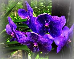 THAILAND-N, Orchideen-Farm in Chiang Mai , 99 / 12347