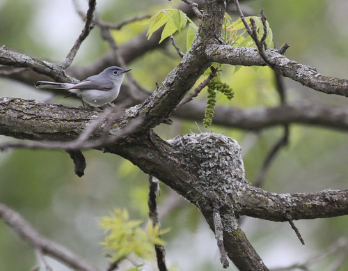 Phriday Photo – Blue-gray Gnatcatcher Nest