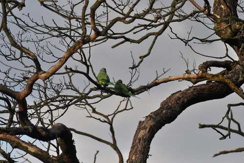Parakeets in Richmond Park