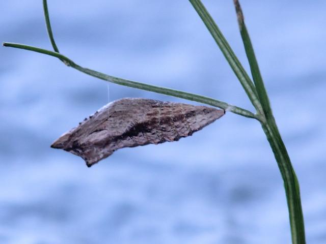 Black Swallowtail chrysalis 20120613