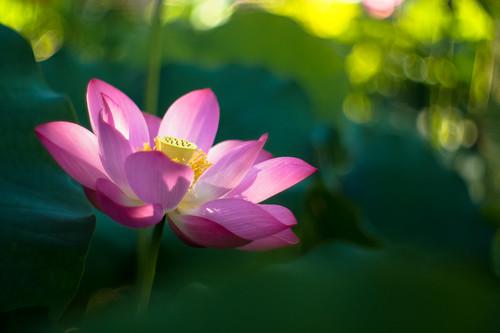 [フリー画像素材] 花・植物, 蓮・ハス ID:201205190600