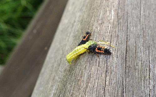 Killer Insects テントウムシの幼虫