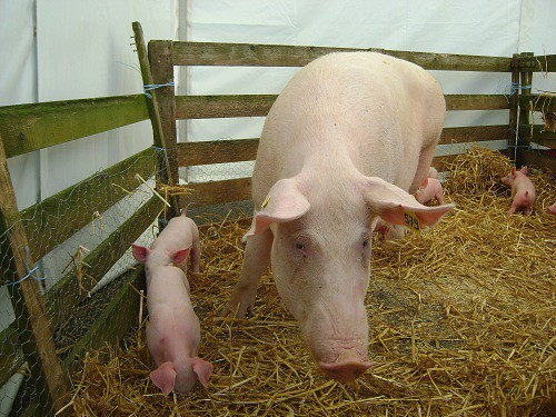 Mother pig with her offspring, by J Marsh